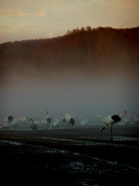 Cranes & other birdies engulfed by a mystical mist after t…   Flickr