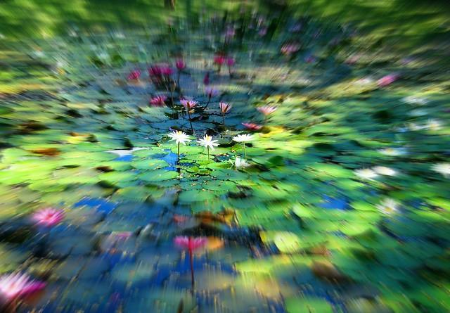 Sunny Waterlilies