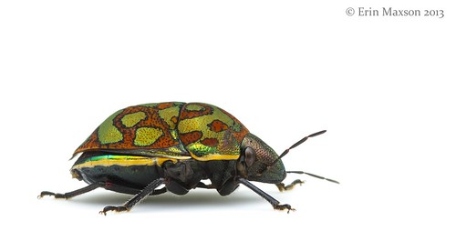 Belize shield-backed bug 2