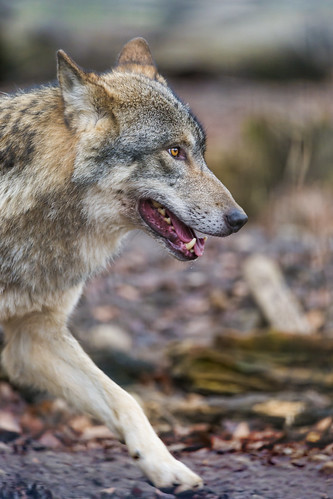 Profile of a wolf walking | by Tambako the Jaguar