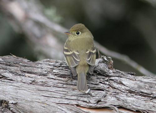 Western_Flycatcher_Point_Reyes_CA_2006_09_30_005.jpg | by maholyoak