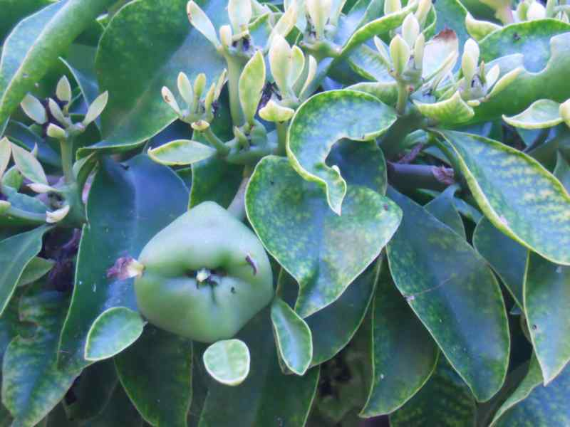 Pereskia grandiflora 1