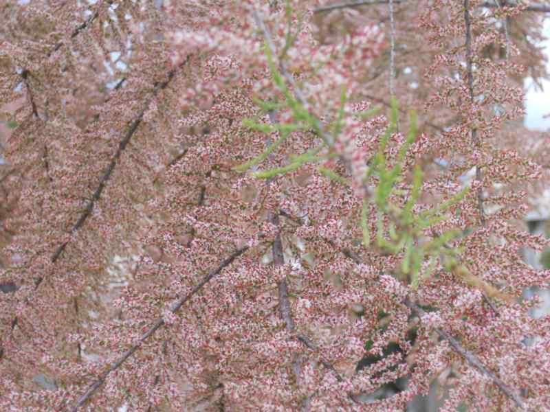 Tamarix parviflora 2