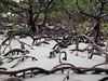 Cape Tribulation, mangrovový prales, foto: Petr Musílek, Go2Australia