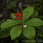 Bunchberry Dogwood