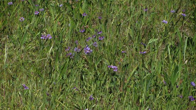 IMG_1969 sperling blue eyed grass
