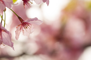 Full bloom softly | by Takashi(aes256)