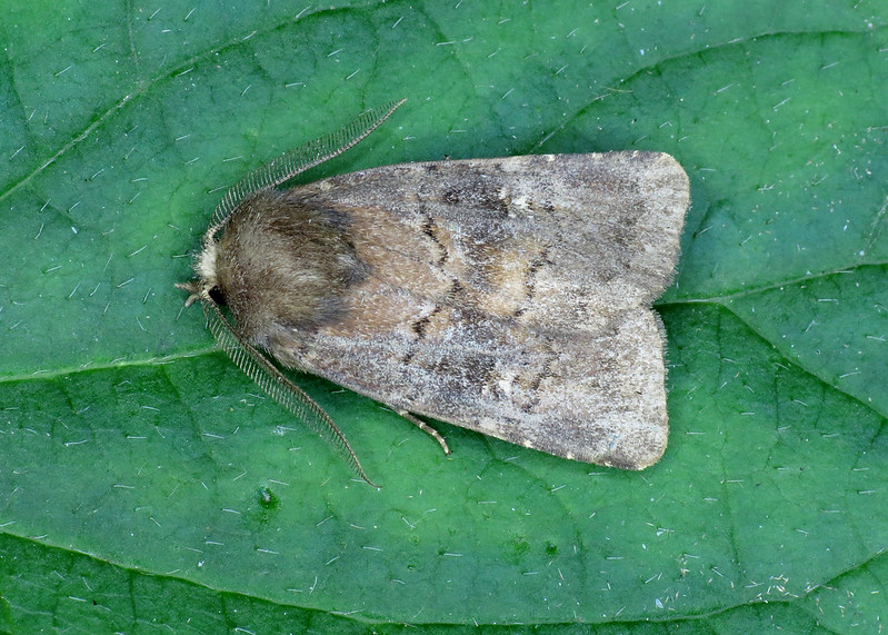 2302 Brown Rustic - Rusina ferruginea