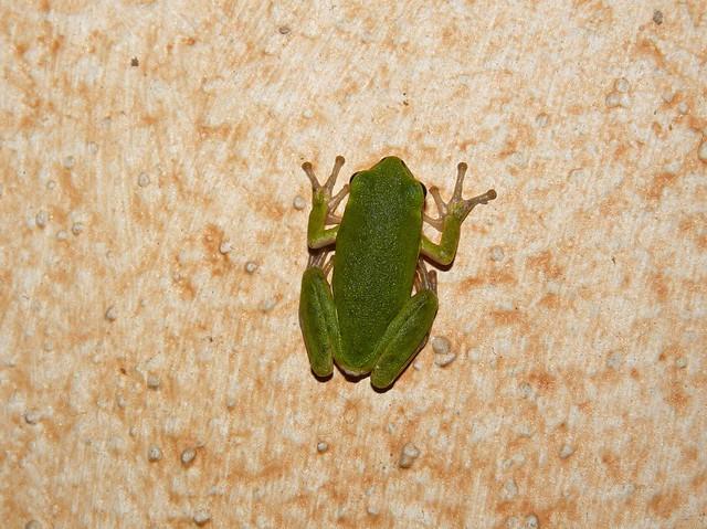 Raganella (Hyla arborea,european tree frog)