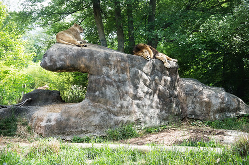 animals rock cat 50mm birmingham wildlife alabama lion lions mammals birminghamzoo africanlion x100 finepixx100 tclx100