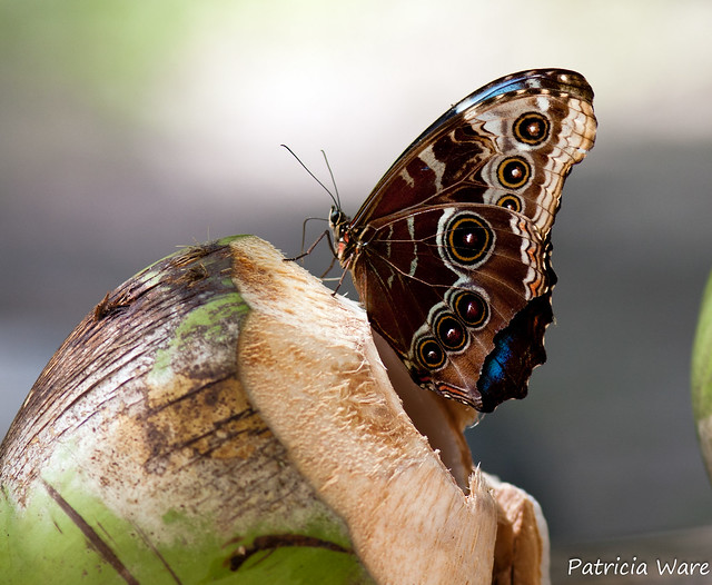 Peleides Blue Morpho (Morpho peleides) on Coconut