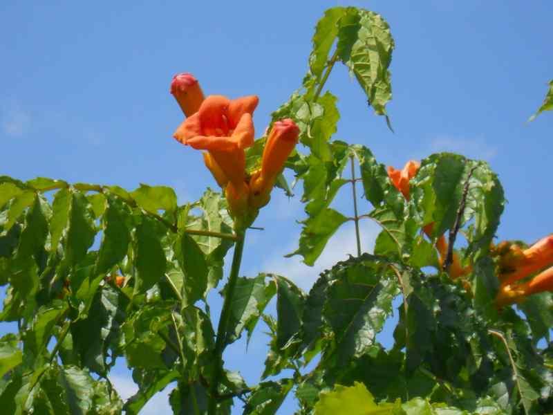 Bignonia grandiflora 2