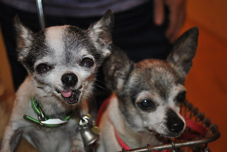 Chihuahuas | by dmuth
