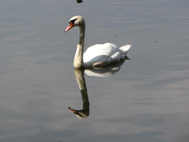 Schwan im Russweiher mit Spiegelbild