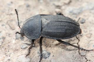 Escarabat carronyer (Phosphuga atrata)   by Joan Quintana (joanillo)