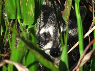 Raccoon (Procyon lotor) | by magnificentfrigatebird
