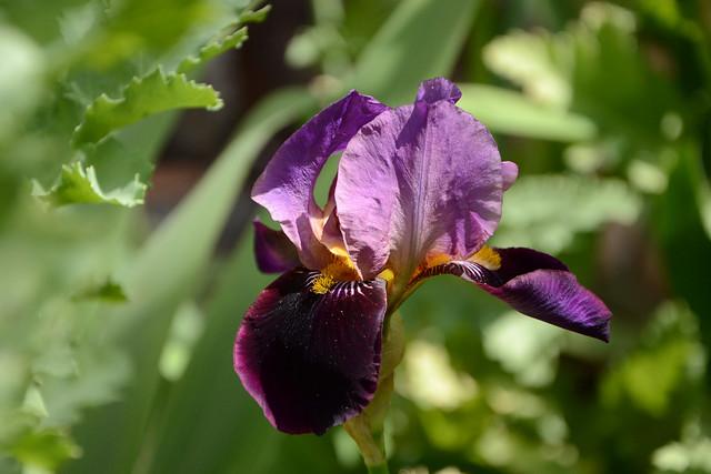 Iris 'Cameroun' - Cayeux 1938 32179216680_0ab092b264_z