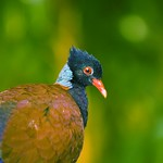 Green-Naped Pheasant Pigeon