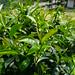 Mucha Tie Guan Yin garden