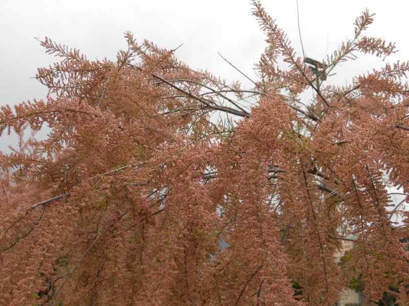 Tamarix parviflora 1