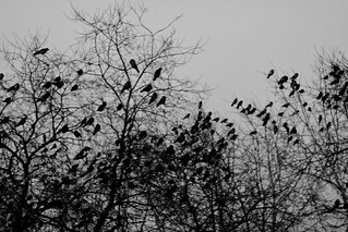 crows | by Yolfie
