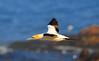 Cape Gannet (Morus capensis)  by Ian N. White