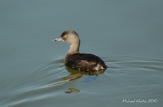 Least Grebe - Edinburg, TX | by Michael W Klotz - The Bird Blogger.com