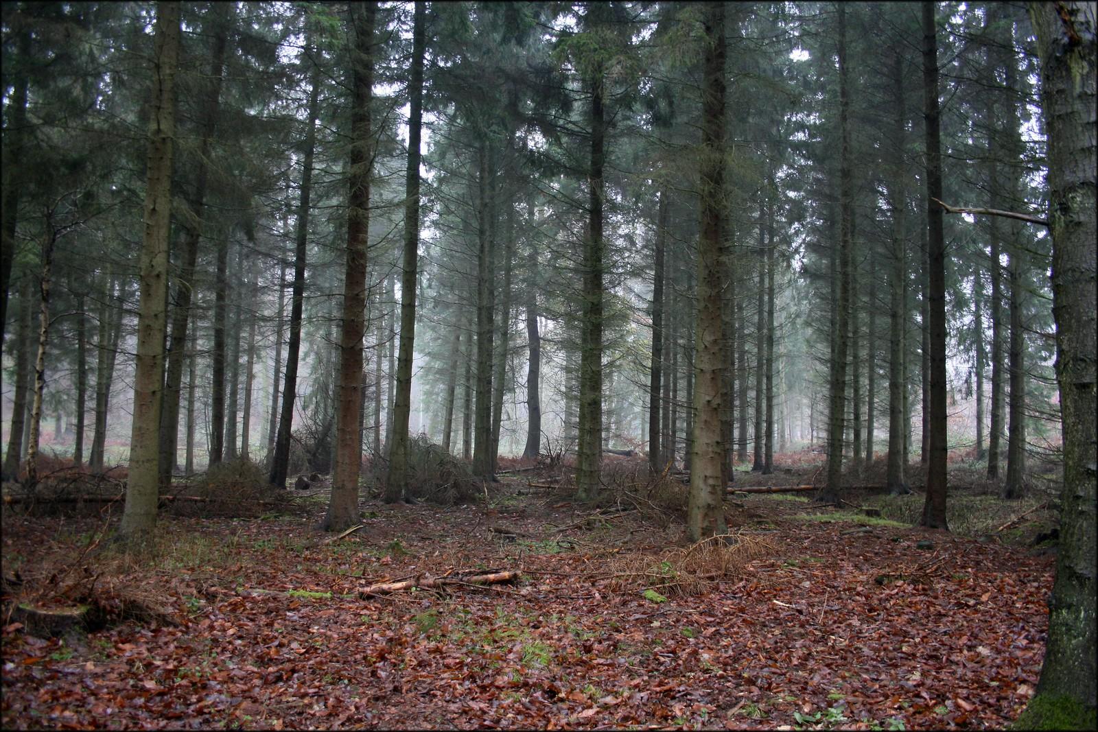 Back Wood, Bow Brickhill Misty woodland near Bow Brickhill, Buckinghamshire