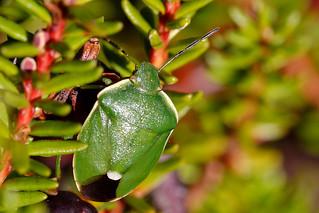 Chlorochroa juniperina | by Erland R.N.