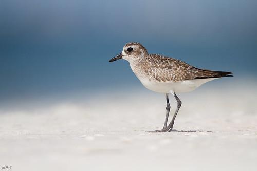 beach nature birds canon wildlife 7d plover shorebird wildbirds blackbelliedplover 600mm
