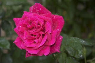 First Rose | by Rantz