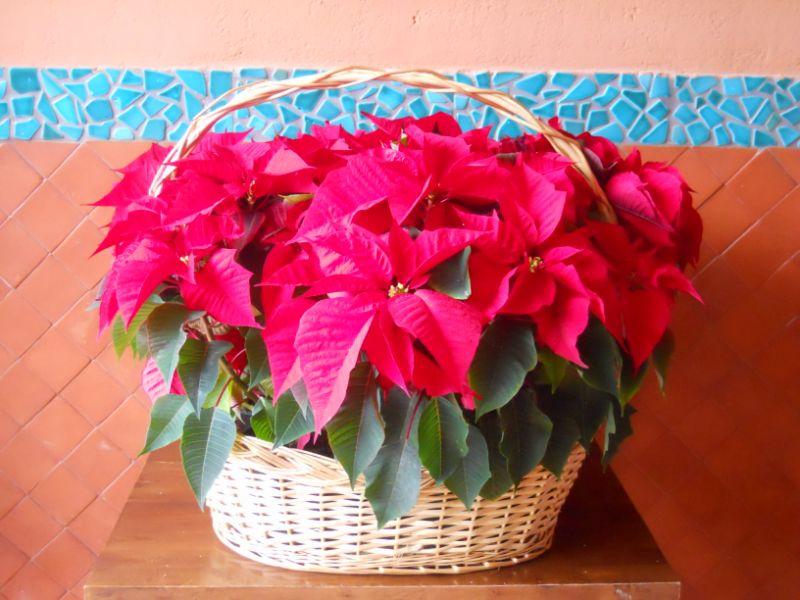 Flor de Pascua y sus cuidados