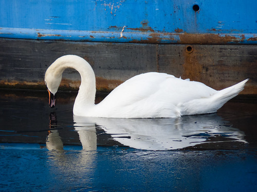 Swan on a partially frozen canal