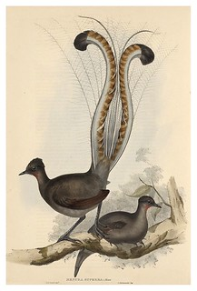 019-Pajaro Lira-The Birds of Australia  1848-John Gould- National Library of Australia Digital Collections | by ayacata7