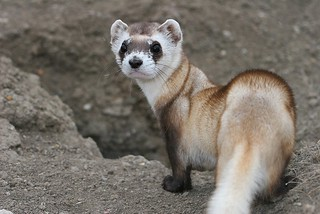 Black-footed Ferret | by USFWS Mountain Prairie