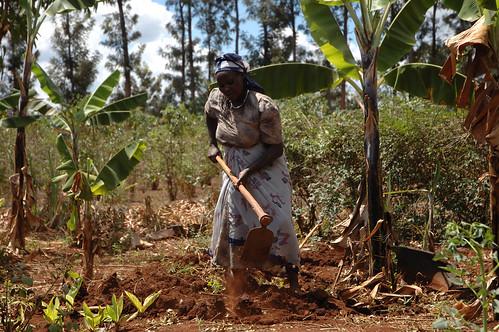 Smallholder farmer prepares maize plot for planting with CIMMYT improved varieties, Embu, Kenya