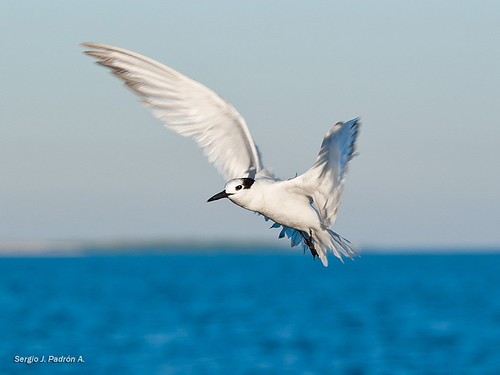 blue sea naturaleza bird nature azul nikon florida seagull keywest pajaro gaviota d700 nikond700 sjpadron sergiojpadróna