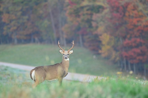 Photo of buck near the woods on a fall day