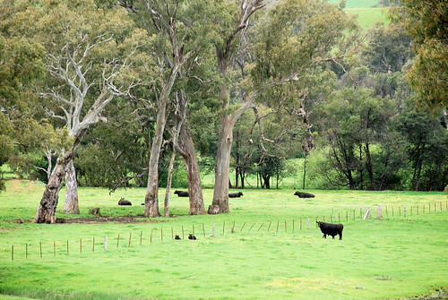 trees countryside cattle australia paddocks