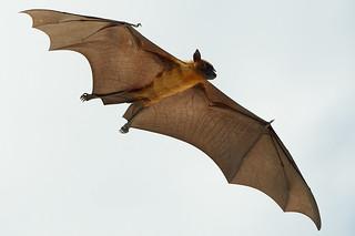 Fruit Bat - Flying fox - Maldives | by Stefano Milan
