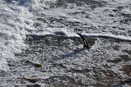 new newzealand bird beach nature yellow penguin penguins surf waves wildlife surfing zealand foam nz eyed aotearoa avian colony oamaru surfin shah bushy bushybeach surfinbird antipodes saumil hoiho megadyptes megadyptesantipodes pingwing surfingbird saumilshah
