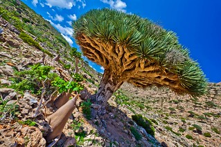 Homhill, garden full of bottles and dragon's blood trees, Soqotra Island, UNESCO, yemen | by anthony pappone photography