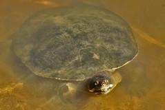 Turtle in Wittunga Lake