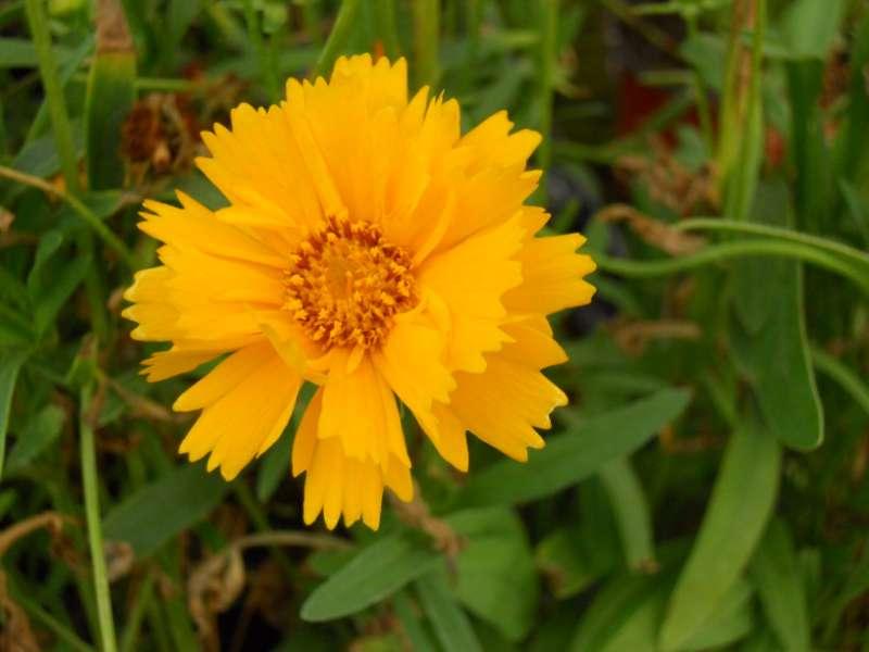 Coreopsis grandiflora 1