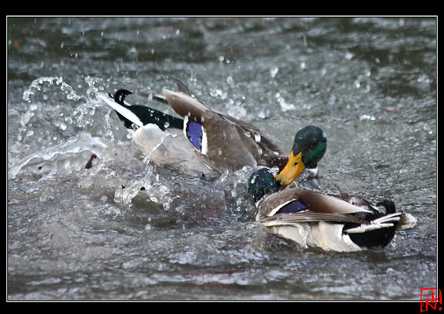 Conflit de canard 14