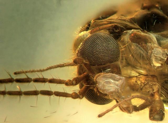 Baltic amber (50 MYO) - rare huge crane fly (Diptera, Tipulidae)