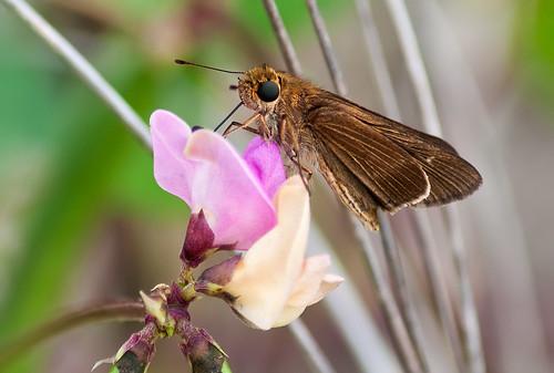 beach nc adult butterflies topsailisland topsailbeach skippers hesperiinae hesperiidae grassskippers lifelistbutterfly panoquina panoquinaocola ocolaskipper