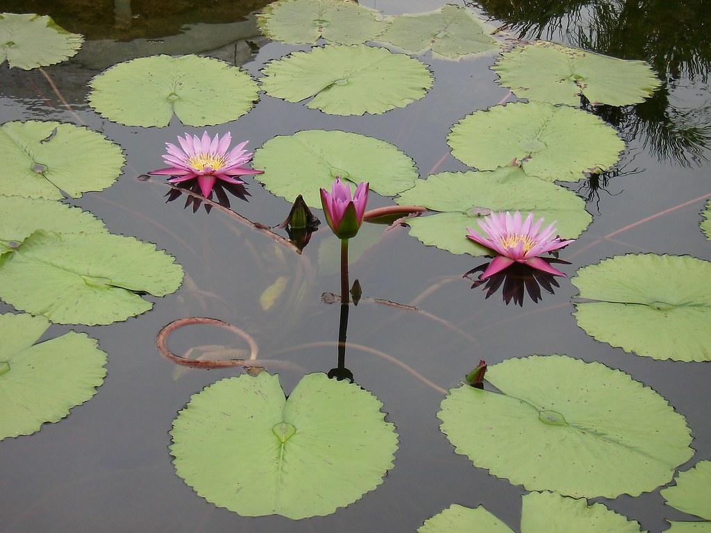 Lotus Flower Trinity Care Foundation Flickr