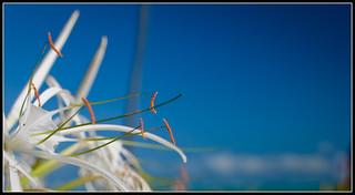 Caribbean White Flower