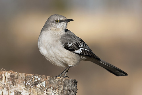 Northern Mockingbird | by mworthi245